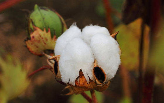 Cotton plant (Matsudo, Chiba, Japan) by t-mizo, used under a Creative Commons licence (http://creativecommons.org/licenses/by/2.0/deed.en)